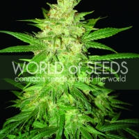 Colombian Gold Ryder Auto Feminised Cannabis Seeds | World of Seeds