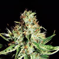 Sweet Cream Auto Feminised Cannabis Seeds | Expert Seeds
