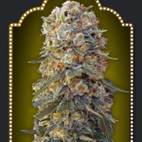 Sweet Critical Feminised Cannabis Seeds | OO Seeds