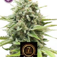 Sweet Seven Eleven Feminised Cannabis Seeds | Kera Seeds