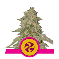 Sweet Zkittlez Feminised Cannabis Seeds | Royal Queen Seeds