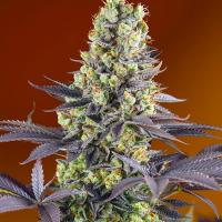 Sweet Zkittlez Feminised Cannabis Seeds | Sweet Seeds