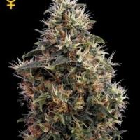 Sweet Mango Auto Feminised Cannabis Seeds | Green House Seeds