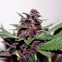 Swiss Dream Rose Auto CBD Feminised Cannabis Seeds | Kannabia