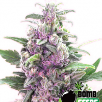 Bomb Seeds THC Bomb | Discount Cannabis Seeds