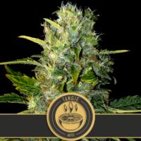 Tangie Auto Feminised Cannabis Seeds | Blim Burn Seeds