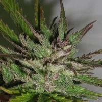 Hazy Daze Feminised Cannabis Seeds | Superstrains