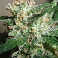 Powdered Peak Feminised Cannabis Seeds  | Superstrains