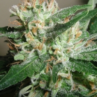Powdered Peak Feminised Cannabis Seeds  | Superstrains