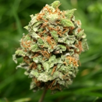 Rocky Mountain High Feminised Cannabis Seeds | Superstrains