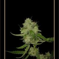 The White Train Auto Feminised Cannabis Seeds