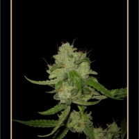 The White Train Auto Feminised Cannabis Seeds
