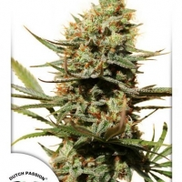 The Edge Feminised Cannabis Seeds | Dutch Passion