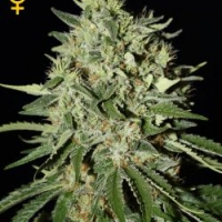 The Doctor Feminised Cannabis Seeds | Green House Seeds