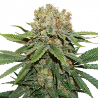 Thin Mint Crack Feminised Cannabis Seeds | Seed Stockers