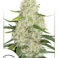 Think BIG AutoFlowering Feminised Cannabis Seeds | Dutch Passion
