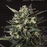 Thunder Haze Auto Feminised Cannabis Seeds