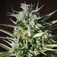 Tikal Feminised Cannabis Seeds | Ace Seeds