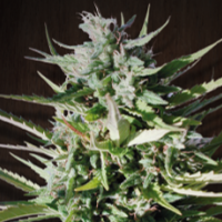 Tikal Regular Cannabis Seeds | Ace Seeds