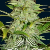 Titan Auto Feminised Cannabis Seeds | 7 Dwarf Seeds