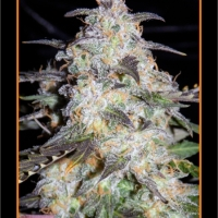 Toof Decay Auto Feminised Cannabis Seeds