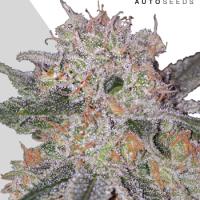 Trans Siberian Autoflowering Feminised Cannabis Seeds | Auto Seeds