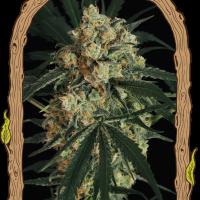 Triple A Auto Feminised Cannabis Seeds | Exotic Seeds