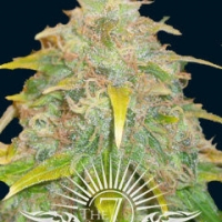 Trojan Auto Feminised Cannabis Seeds | 7 Dwarf Seeds