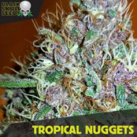Tropical Nuggets Feminized Cannabis Seeds | Black Skull Seeds