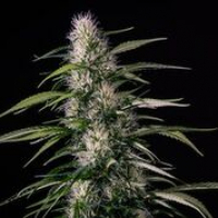 Txaki Feminised Cannabis Seeds | MM Genetics