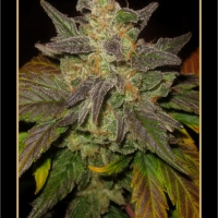 Tyrone Special Auto Feminised Cannabis Seeds