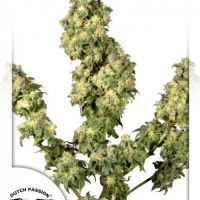 Ultra Skunk Feminised Cannabis Seeds | Dutch Passion