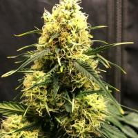 Vanilla Frosting Auto - Tastebudz - Discount Cannabis Seeds