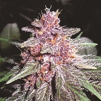 Violeta Regular Cannabis Seeds | Ace Seeds