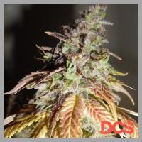 Viva Sativa Feminised Cannabis Seeds | Feminized Seeds