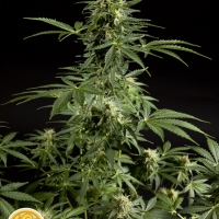 Auto Stilton: AKA Cheesy Auto Feminised Cannabis Seeds | Philosopher Seeds