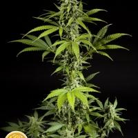 Fraggle Skunk Auto Feminised Cannabis Seeds   Philosopher Seeds