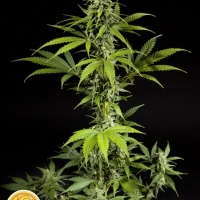 Fraggle Skunk Auto Feminised Cannabis Seeds