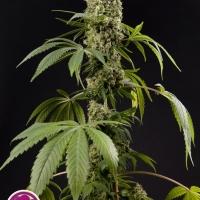 Guayita Feminised Cannabis Seeds   Philosopher Seeds
