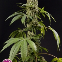 Guayita Feminised Cannabis Seeds