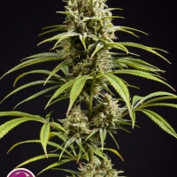 Jack El Frutero Feminised Cannabis Seeds