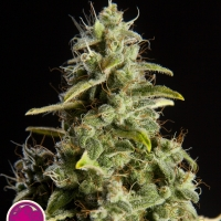 Naranchup Feminised Cannabis Seeds