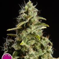 Naranchup Feminised Cannabis Seeds   Philosopher Seeds
