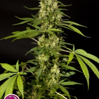 Sweet Love Feminised Cannabis Seeds | Philosopher Seeds