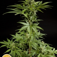 White Yoda Auto Feminised Cannabis Seeds | Philosopher Seeds