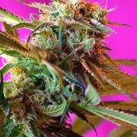 Wild Rose Feminised Cannabis Seeds | Sweet Seeds