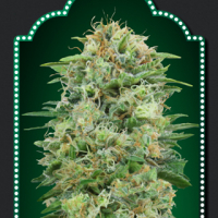 White Widow CBD Feminised Cannabis Seeds | OO Seeds
