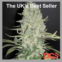 Buy Female Seeds White Widow x Big Bud Feminised Cannabis Seeds