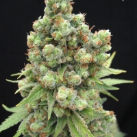 Sick Meds William's Wonder Regular Cannabis Seeds