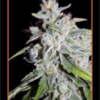 Walter White Auto Feminised Cannabis Seeds